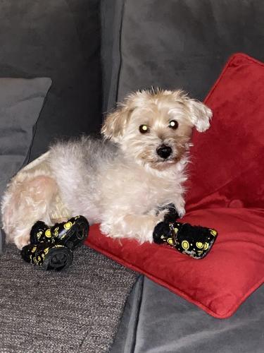 Lost Male Dog last seen De la Rosa , Downey, CA 90240