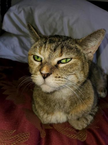 Lost Female Cat last seen Sunrise Mountain Townhomes , Las Vegas, NV 89156