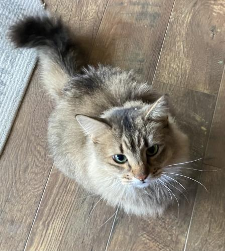 Found/Stray Female Cat last seen By willow canyon high school , Surprise, AZ 85388