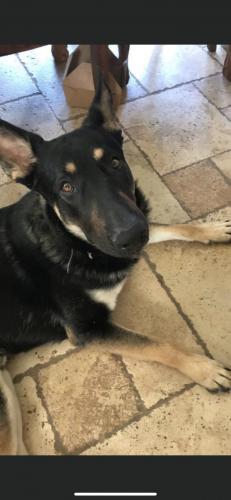Lost Male Dog last seen Bullard and cactus , Surprise, AZ 85374