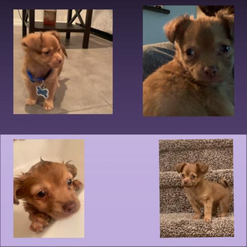 Lost Male Dog last seen Peralta elementary school , Phoenix, AZ 85035