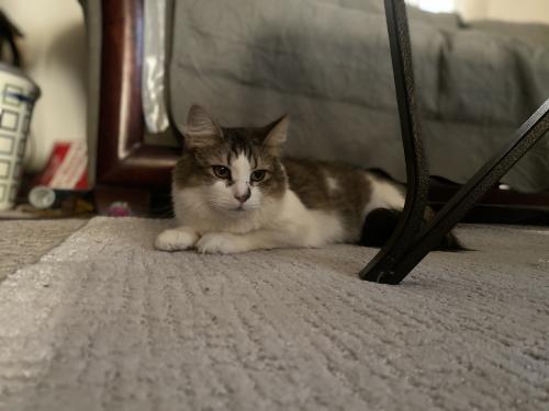 Lost Female Cat last seen Johnstons Road & Denison Ave, Norfolk, VA 23513