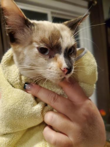 Found/Stray Female Cat last seen 43rd ave and grovers, Glendale, AZ 85308