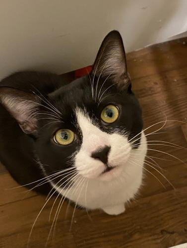 Lost Male Cat last seen 67th Ave @ sunset landing apt. , Glendale, AZ 85302