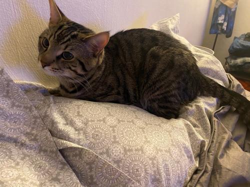 Lost Male Cat last seen Near Riviera Arch, Virginia Beach, VA 23464, Virginia Beach, VA 23464