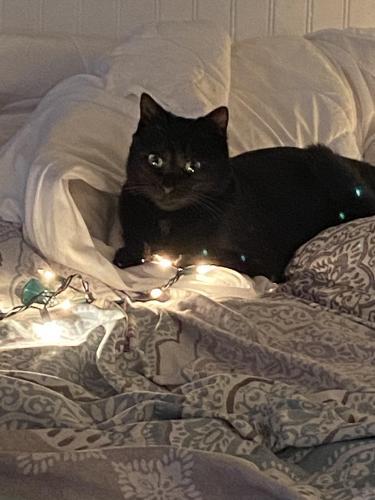 Lost Male Cat last seen Ocean Ave, granby street, Norfolk, VA 23503