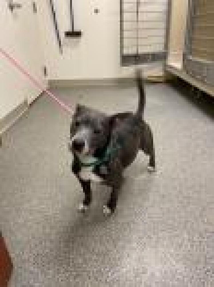 Shelter Stray Female Dog last seen Hamilton, OH 45011, Hamilton, OH 45011