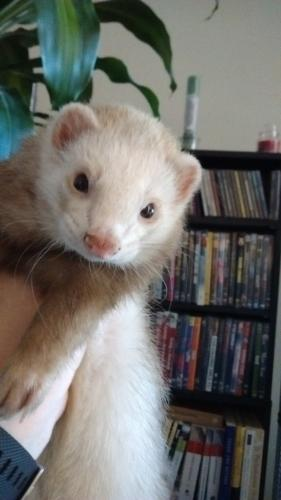 Lost Male Ferret last seen Alice & 19th Ave, Phoenix, AZ 85021