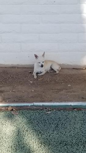 Found/Stray Male Dog last seen 112th ave and Wisconsin Youngtown , Youngtown, AZ 85363