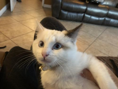 Lost Female Cat last seen Cherry and kemp, Compton, CA 90222