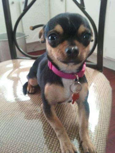 Lost Female Dog last seen Redondo and westhaven , Los Angeles, CA 90016
