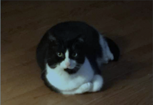 Lost Male Cat last seen Egypt Rd and Longford Rd, Phoenixville, PA 19460