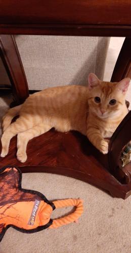 Found/Stray Male Cat last seen Near Harbor Watch Drive. Chesapeake, Va 23320, Chesapeake, VA 23320