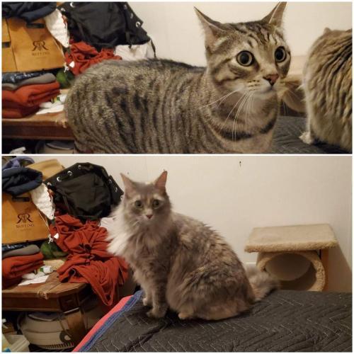 Lost Male Cat last seen Near Adola Road, Maurice. La. 70555, Lafayette, LA 70506