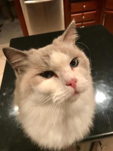 Lost Male Cat last seen Parc Gardens apartment complex, Lafayette, LA 70508