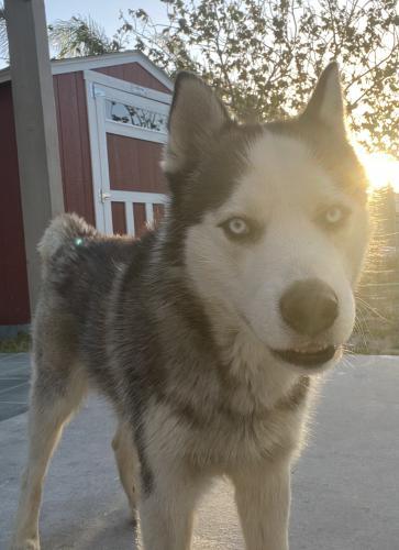 Lost Male Dog last seen Los cedros, Almeria avenue , Fontana, CA 92336