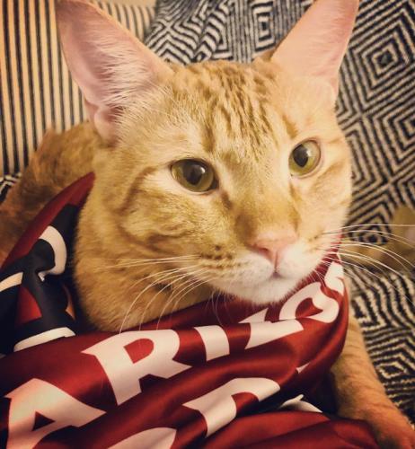 Lost Male Cat last seen Thomas & 70th street, Scottsdale, AZ 85251