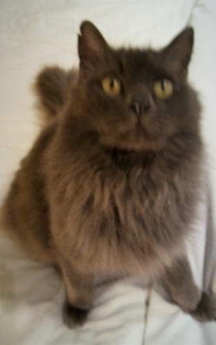 Lost Female Cat last seen Banks Rd, Raleigh , Raleigh, NC 27603