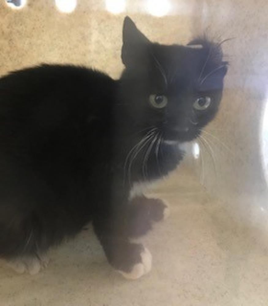 Shelter Stray Unknown Cat last seen Mebane, NC 27302, Burlington, NC 27216