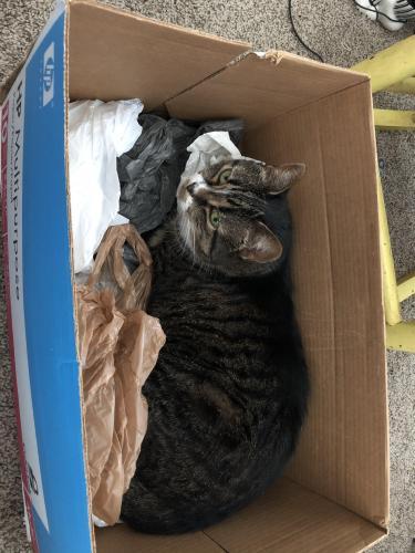 Lost Female Cat last seen Holland and Dutch Road, Suffolk, VA 23437