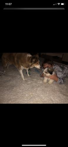 Lost Male Dog last seen Colonial road warrenton va , Center, VA 20187