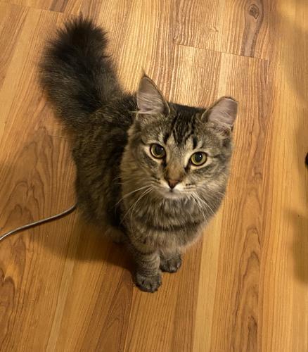 Lost Female Cat last seen Cherry lane Jefferson st, Jefferson, MD 21755