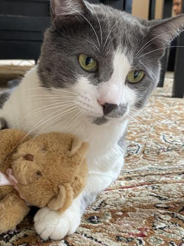 Lost Male Cat last seen Heritage dr and America dr , Annandale, VA 22003