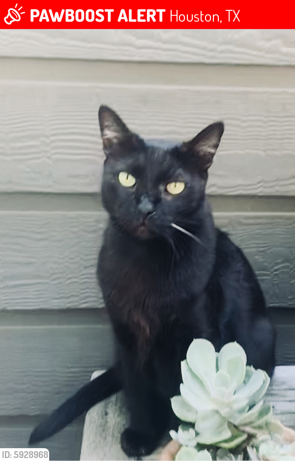 Lost Male Cat last seen Fondren & Woodway bear Old Farm Road, Houston, TX 77063