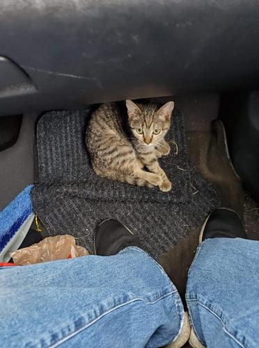 Lost Female Cat last seen Holland and smith, Brook Park, OH 44142