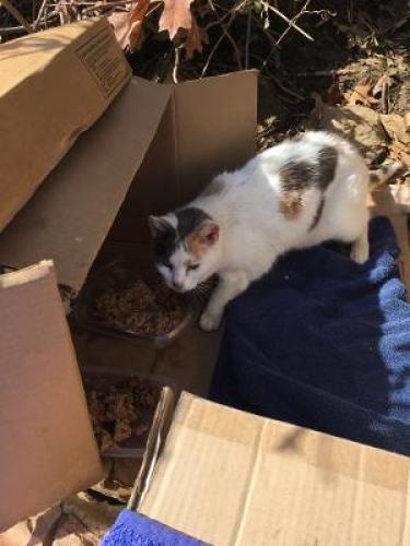 Lost Female Cat last seen Dinwiddie & 9th Street South, Arlington, VA 22204