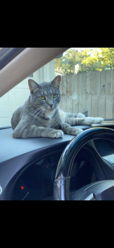 Lost Male Cat last seen Seagler and Okympia, Houston, TX 77042