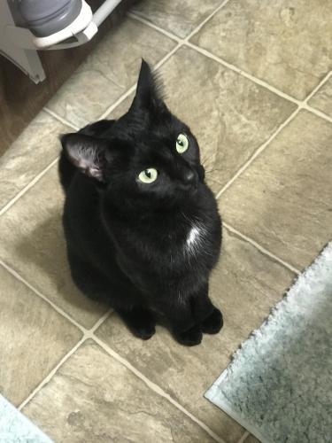 Lost Female Cat last seen Lakeshore apartments, Fort Oglethorpe, GA 30742