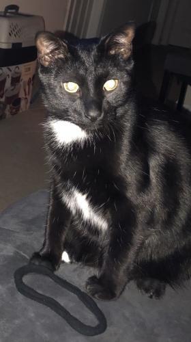 Lost Female Cat last seen S.Oriole & E Piney Branch Drive , Virginia Beach, VA 23451