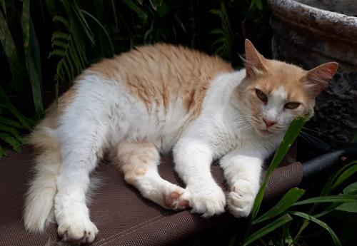 Lost Male Cat last seen Cologne Dr/Aste Lane, Houston, TX 77065