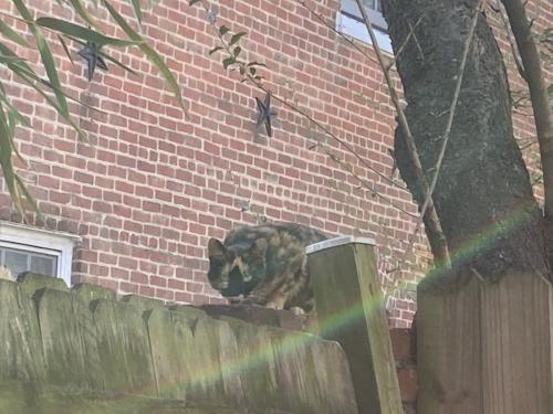 Found/Stray Unknown Cat last seen Cameron St. x Patrick St., Alexandria, VA 22314