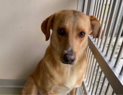 Lost Female Dog last seen Kentsdale Drive, Rockville, MD 20854