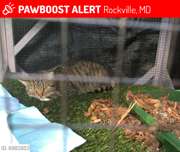 Lost Female Cat last seen Eloise Ave and Arbutus ave, Rockville, MD 20853