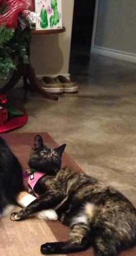 Lost Female Cat last seen Near Falcon Street Sherman Texas, Annandale, VA 22003