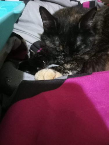 Lost Female Cat last seen Maycox and restimeire , Norfolk, VA 23505