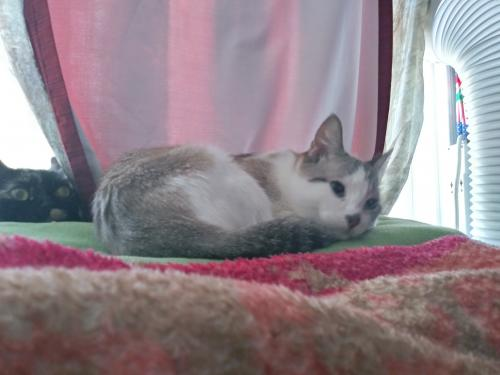 Lost Female Cat last seen W C St,Wilmington, CA 90744, Los Angeles, CA 90744