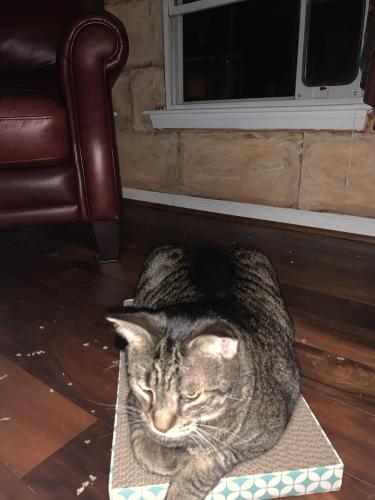 Lost Male Cat last seen Culver Rd and Painters Lane, Virginia Beach, VA 23456