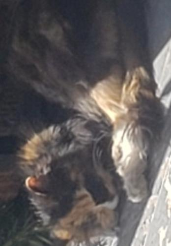 Lost Female Cat last seen Fuller Avenue and E. 210th Street, Euclid, OH 44123, Euclid, OH 44123