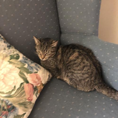 Lost Female Cat last seen Near Windsor Drive, Charles Town, WV 25414