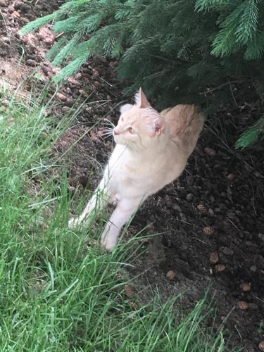 Lost Male Cat last seen Chesterland, Lakewood, OH 44107