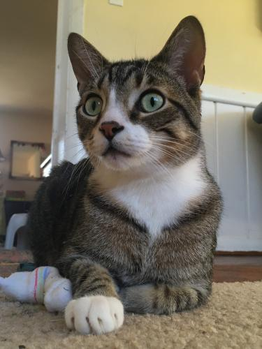 Lost Male Cat last seen Ivydale and Arcola, Wheaton-Glenmont, MD 20902