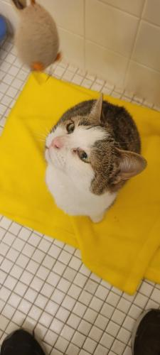 Found/Stray Male Cat last seen 601B Dodge Ct Riverside, OH 45431, Riverside, OH 45431
