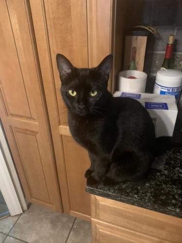 Lost Female Cat last seen Covent Ct & Richardson , Fairfax, VA 22032