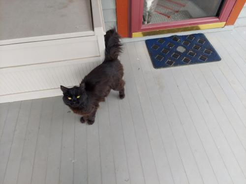 Found/Stray Male Cat last seen Tullamore and Taylor, Cleveland Heights, OH 44118