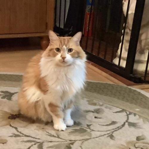 Lost Male Cat last seen Near Highland Ave Altadena CA 91001, Altadena, CA 91001