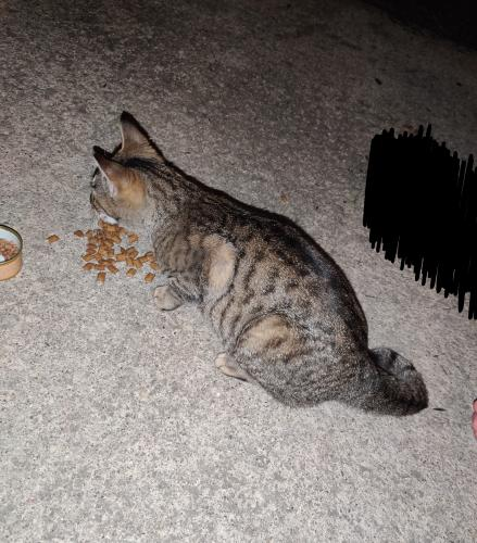 Found/Stray Female Cat last seen Oakwood estates apartments , North Olmsted, OH 44070